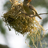 Female Baya Weaver building nest