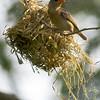 Female Baya Weaver building nest