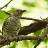 Little Bronze Cuckoo