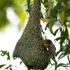 Completed Baya Weaver nest and Male