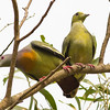 Pink Necked Green Pigeon (male and female)