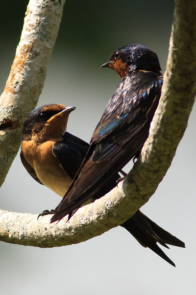 Pacific Swallows