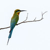 Blue Talied Bee Eater