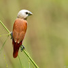 Whie Headed Munia