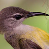 Copper Throated Sunbird (female)