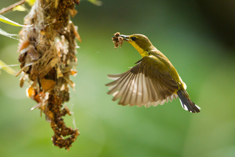 Olive Backed Sunbird (female) making a home