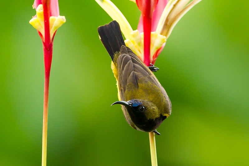 Olive Backed Sunbird (male)