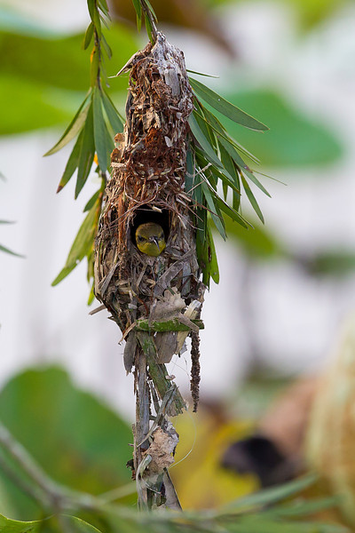 Olive Backed Sunbird (female) in nest
