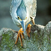 Little Heron