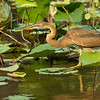 Purple Heron (juvenille)