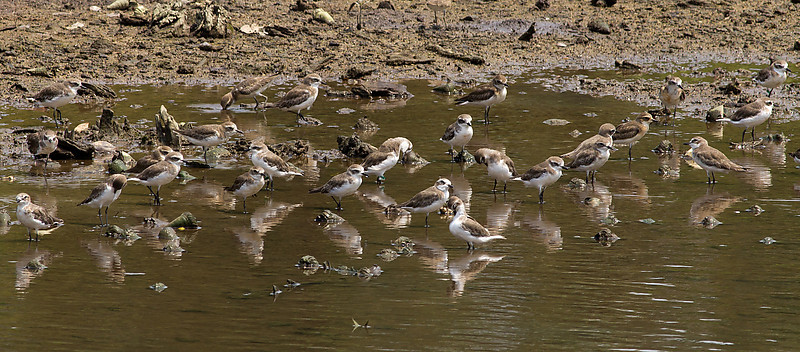 Little Sand Plovers