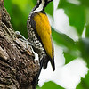Common Flameback (female)
