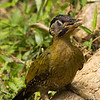 Laced Woodpecker (female)