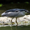 Night Heron Jurong Bird Park Singapore