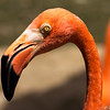 Caribean Flamingo Jurong Bird Park Singapore