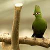 Hartlaubs Turaco Kakegawa Kachoen Bird Park Japan
