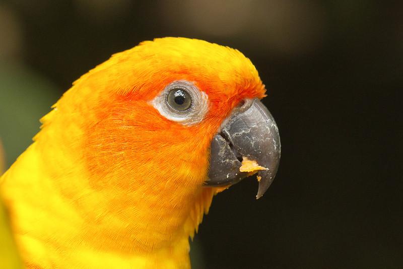 Sun Parakeet (south america) Jurong Bird Park Singapore