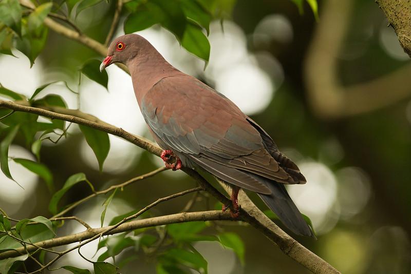 Maranon Pigeon (south america)  Jurong Bird Park Singapore