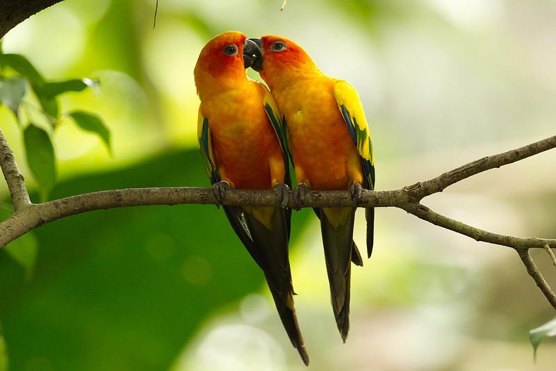 Sun Parakeets (south america) Jurong Bird Park Singapore