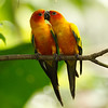 Sun Parakeets (south america) Jurong Bird Park Singapore