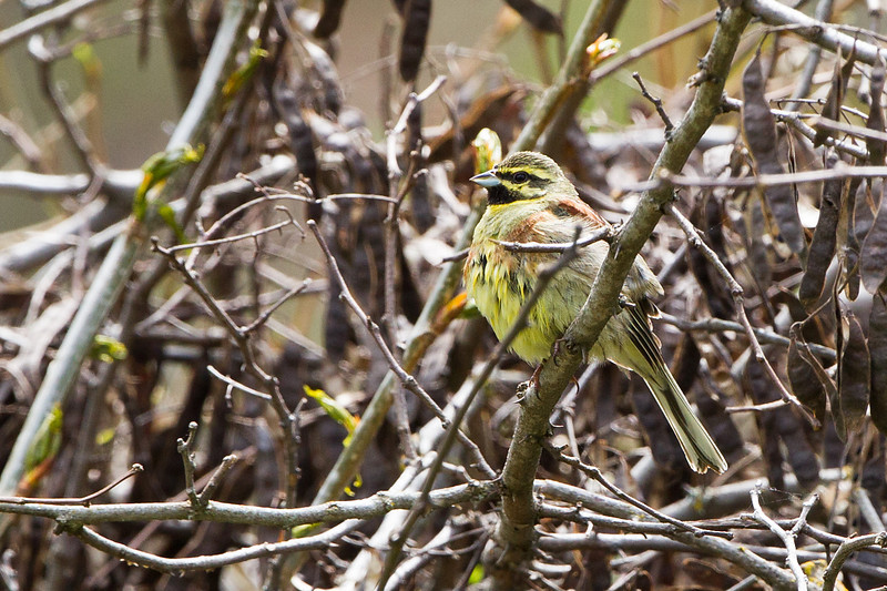 Cirl Bunting Southern Spain April 2013