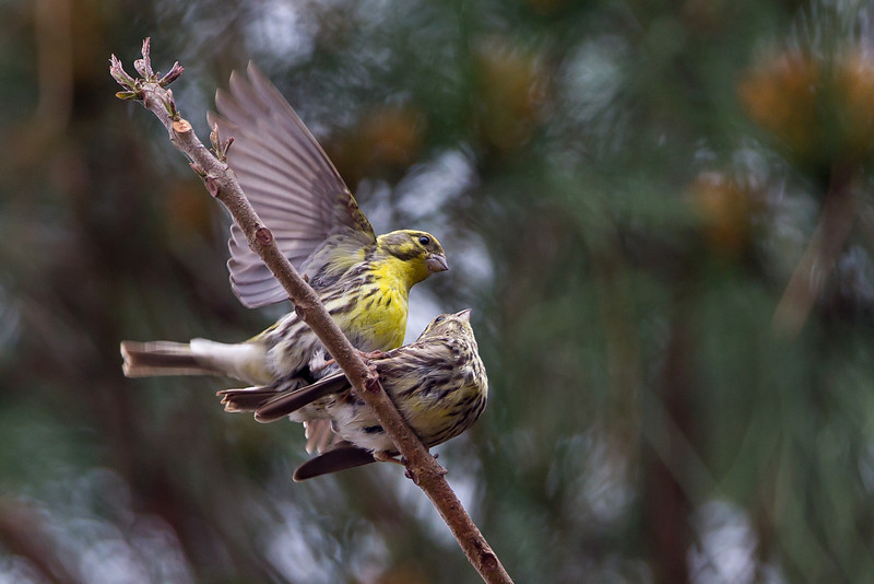Serins mating Southern Spain April 2013