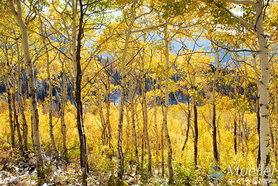 YellowAspens