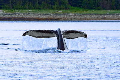 Full Humpback Whale Tail
