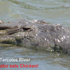 Alligator Eats Chicken