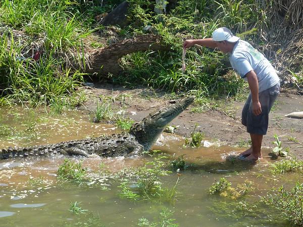 Alligator Chiken 02