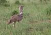 Secretary Bird in Awash National Park
