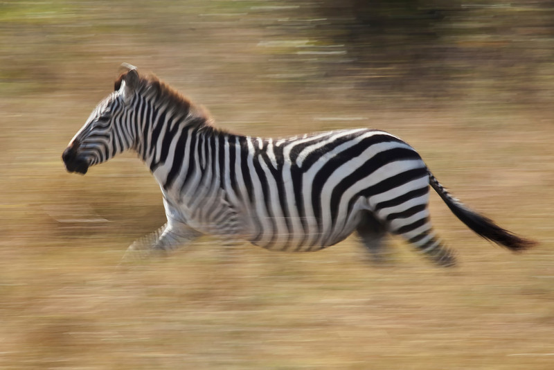 A Zebra running across the Masai Mara