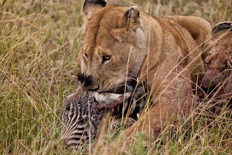A Lion enjoying a meal of Zebra