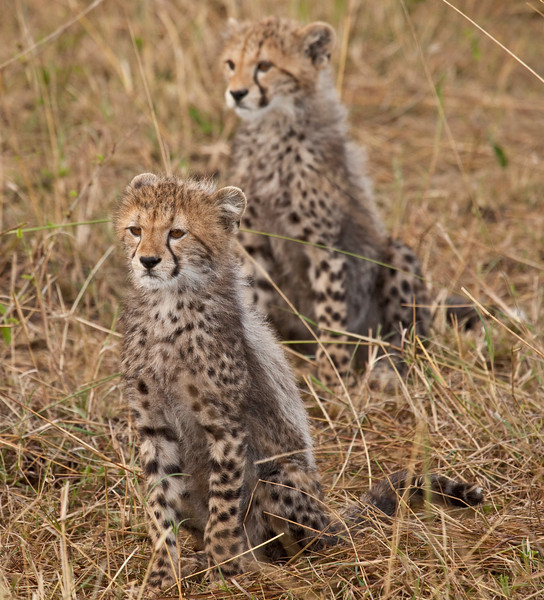Cheetah kittens watching their mother