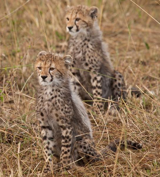 Cheetah kittens watching their mother