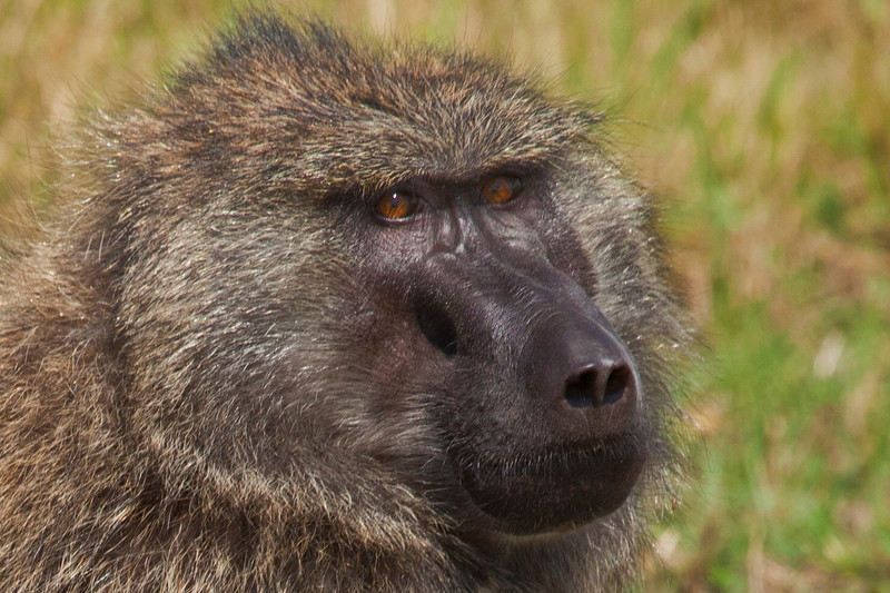 A young male Baboon