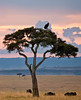 Some Wildebeest and a Vulture atop an acacia tree in the Mara