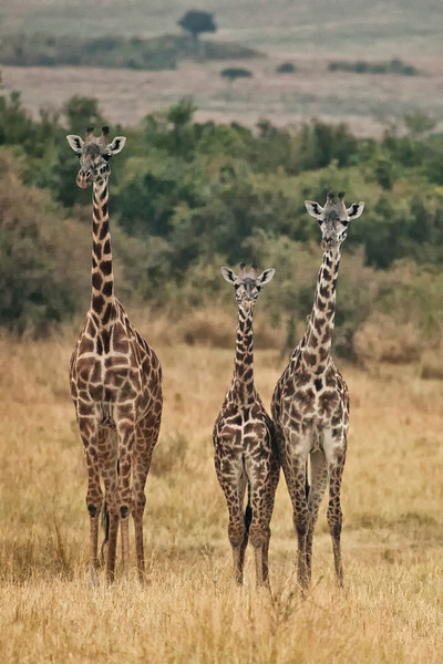 A family of Giraffes