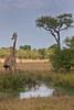 A Giraffe at a watering hole on the Masai Mara