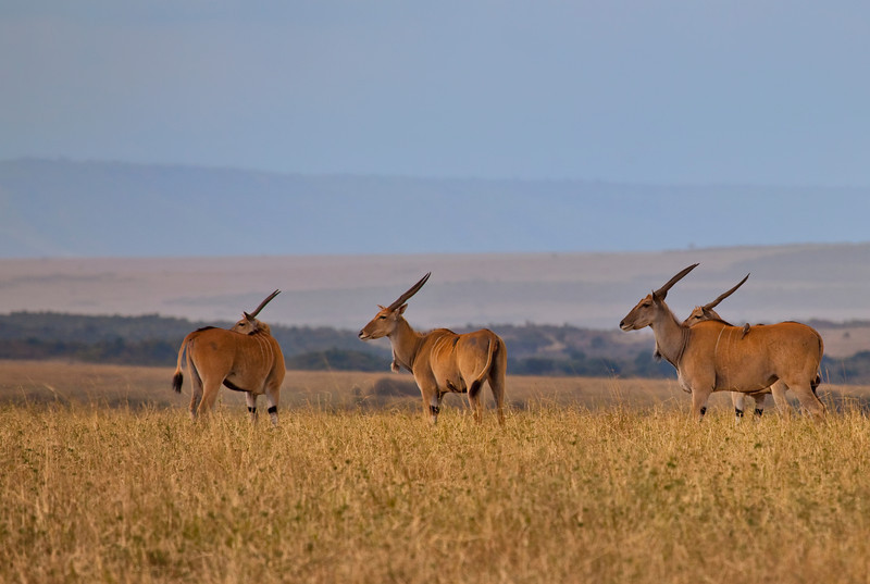 A group of Eland in the Mara