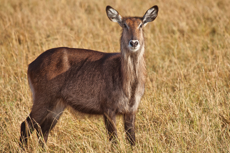 A female Waterbuck in the Masai Mara
