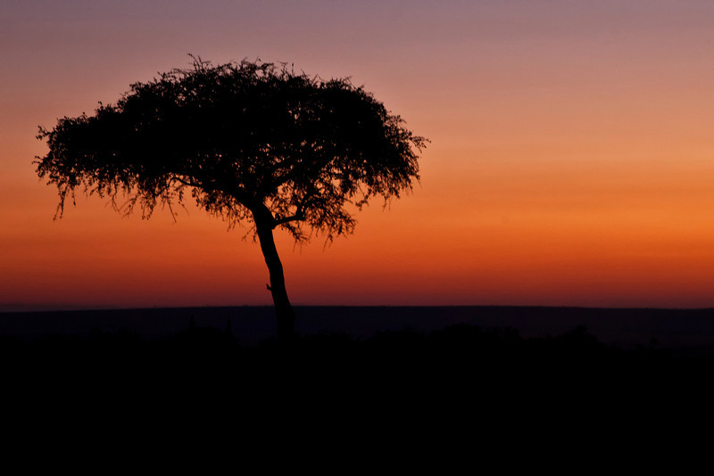 An Acacia Tree at sunrise on the Masai Mara