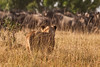 A Lion stalking a herd of Wildebeest