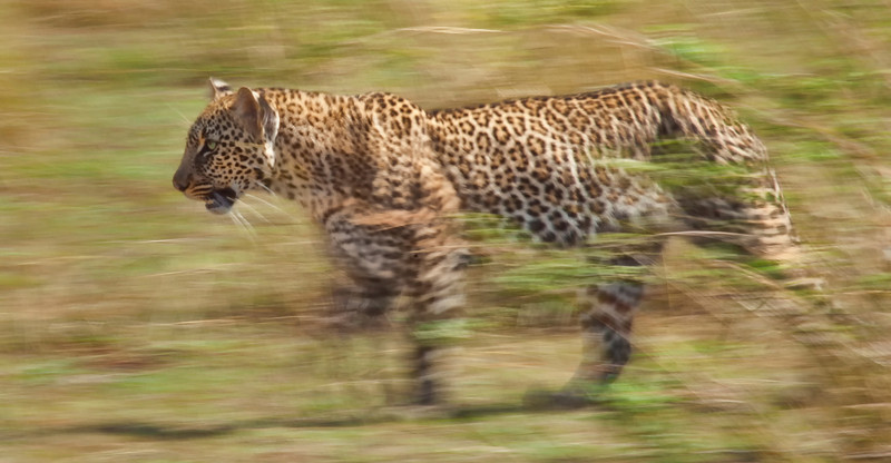 A Leopard moving through the brush in seek of prey