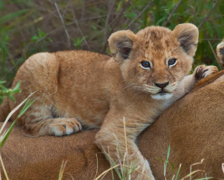 A Lion Cub on its mother's back