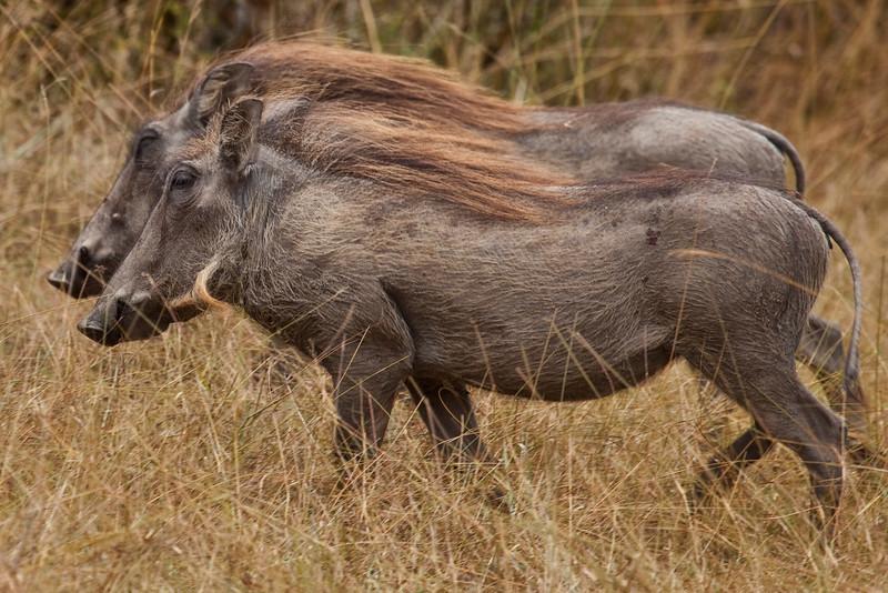 A pair of juvenile Wart Hogs
