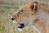 Lioness looking for something to hunt