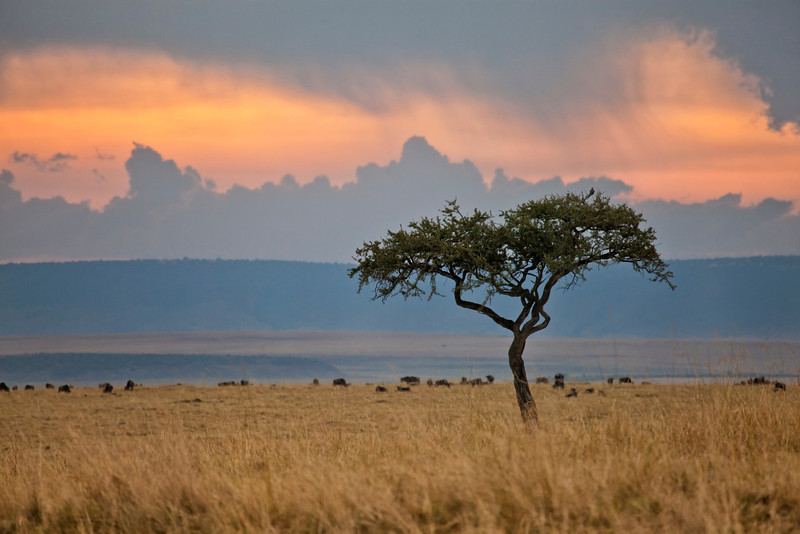 Early morning in the Mara with Wildebeest in the distance and an acacia tree in the foreground