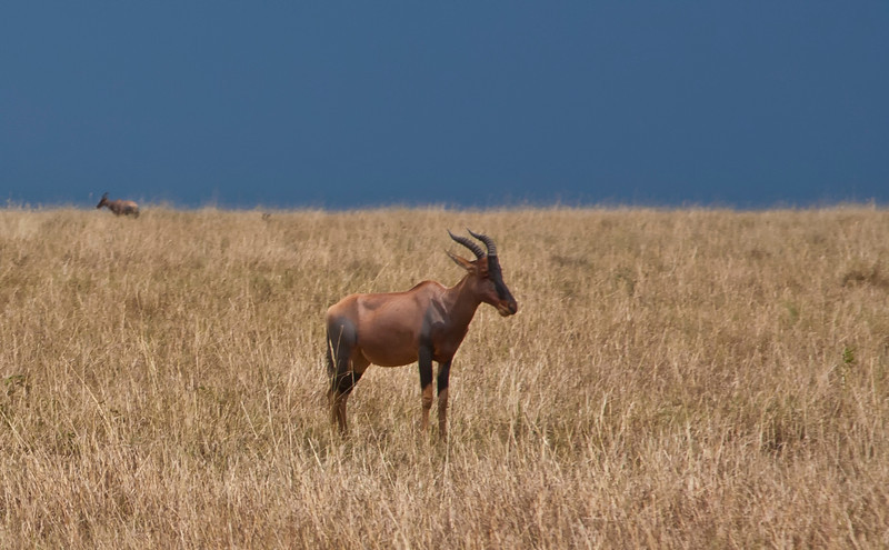 A Topi in the Mara with a storm approaching in the background