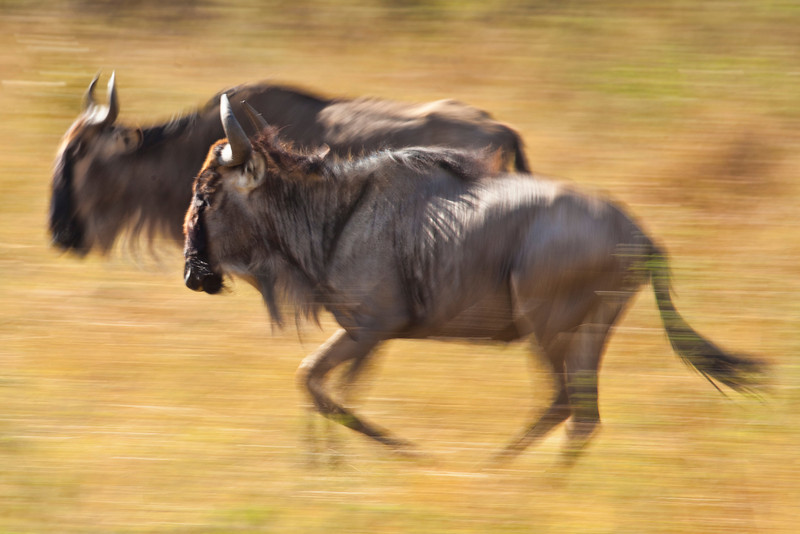 Wildebeest running across the Masai Mara